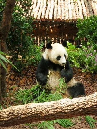 Endangered panda eating bamboo sticks Stock Photo