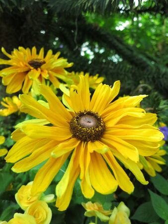 Sunflowers Close Up