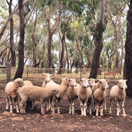 Sheeps farm background Stock Photo