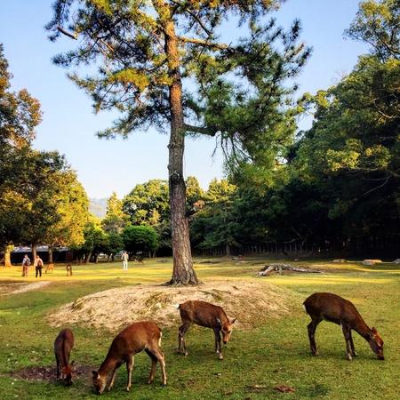 Nara park in Japan with deers Stock Photo