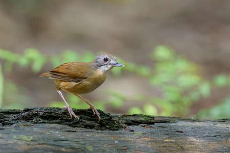 Short Tailed Babbler