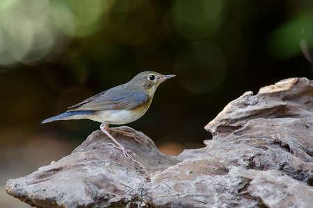 Siberian Blue Robin (Sub-Adult Male)