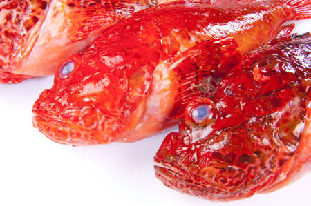 scrofa: Red Scorpionfish placed on a white background Stock Photo