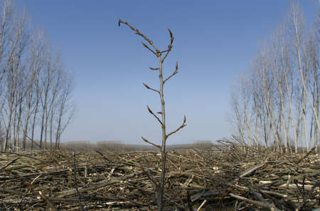 fallen: Seedling growing in the middle of poplar trees cut Stock Photo
