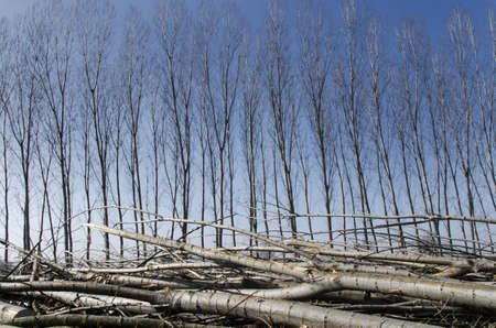 poplars: Poplar cut on the ground in front of lush poplars Stock Photo