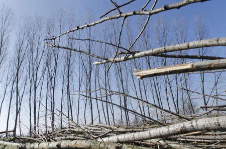 poplars: Poplars cut and broken, put on the ground in front of lush poplars
