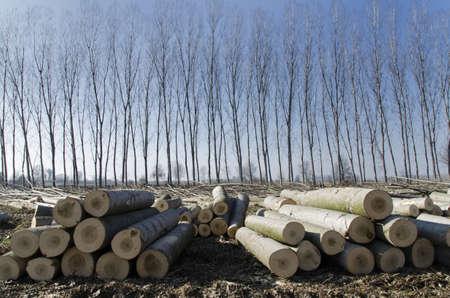 deforestacion: Poplars corte apilados delante de álamos frondosos Foto de archivo