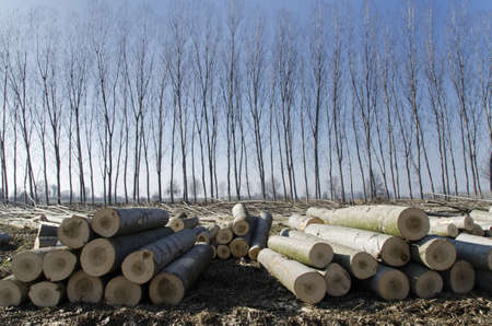 Poplars cut stacked in front of lush poplars