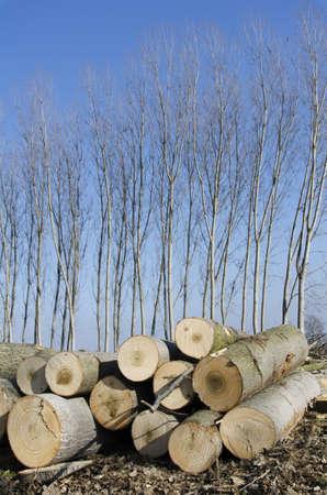 poplars: Poplars cut stacked in front of lush poplars