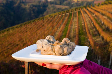 tuber: White truffles from Piedmont, Italy, placed on tray held by the hands of a woman in the background a landscape of hills with vineyards of Langhe