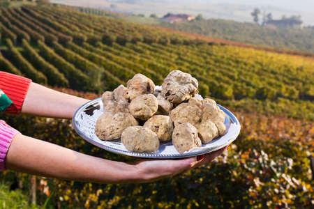 White truffles from Piedmont, Italy, placed on tray held by the hands of a woman in the background a landscape of hills with vineyards of Langhe Banco de Imagens - 48778195