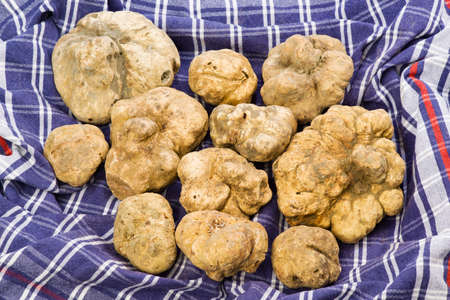 tuber: Many white truffles from Piedmont on cloth checkered blue and red