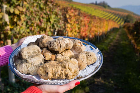White truffles from Piedmont, Italy, placed on tray held by the hands of a woman in the background a landscape of hills with vineyards of Langhe