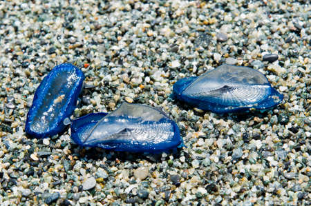 beached: jellyfish Velella beached on the shore in the sand