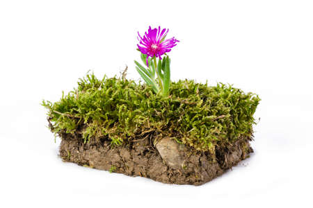 turf flowers: Plate of ground and grass with flower photographed in studio on white background