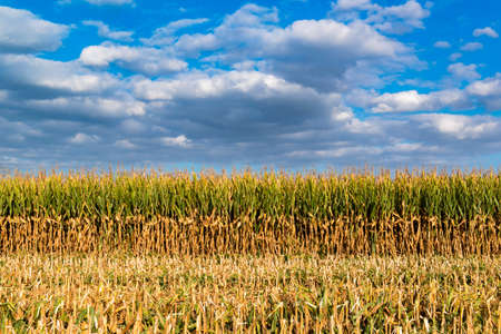 Enchanting landscape on threshed cornfield and cloudy blue sky