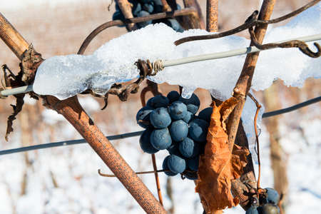 Bunch of winter grapes, on background view of Langhe vineyards hills with snow Piedmont Italy