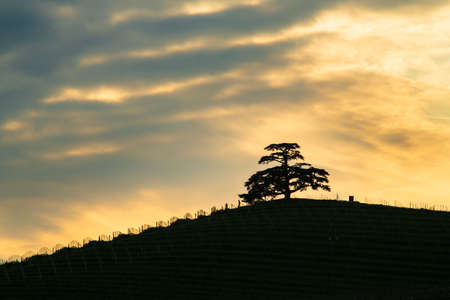 Cloudy sunset, of the Cedar of Lebanon, majestic secular tree symbol of the Langhe La Morra Piedmont Italy