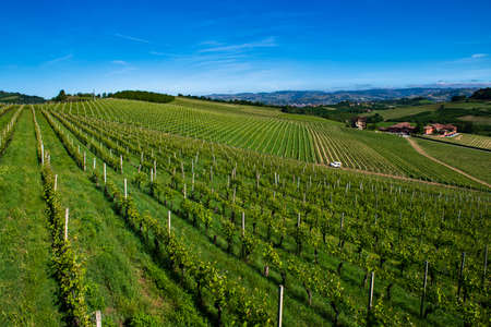 Green and lush vineyards on the beautiful hills in the Roero Piobesi d'Alba area of Piedmont Italy, the sky is clear and blue Banco de Imagens - 127788529