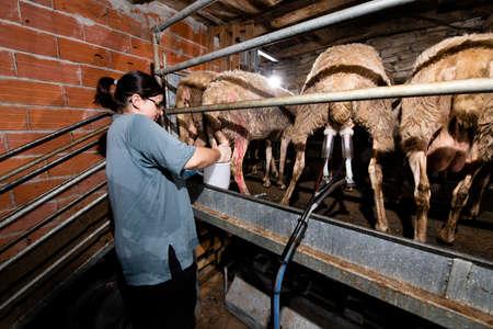 Breeder milks sheep in her stable Banco de Imagens