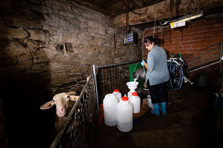 The breeder pours fresh milk from sheep in a sterile container, a sheep is in the stable