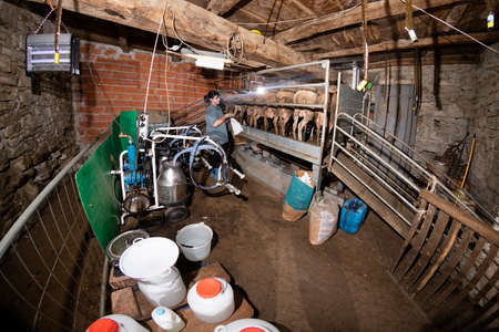 The breeder prepares sheep for milking in her barn