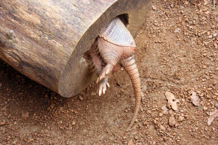 An armadillo in a hollowed out log from the backside.