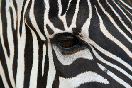 A zebra face up close.  Makes a nice background. photo