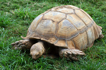 large turtle: A large turtle eating the green grass under him. Stock Photo