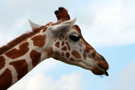An adult giraffe with his tongue out.  Great color and detail.  Will make awesome prints. photo