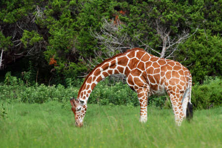 An adult giraffe.  Great color and detail.  Will make awesome prints. photo