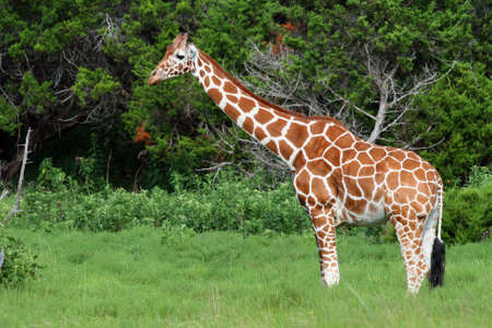 An adult giraffe.  Great color and detail.  Imagens
