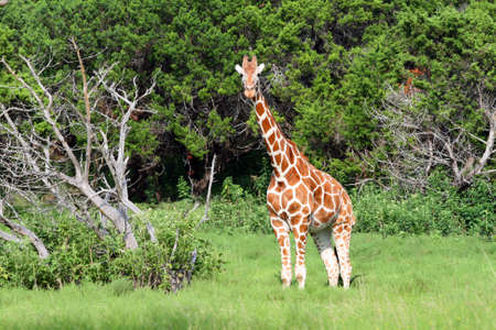 An adult giraffe.  Great color and detail. photo