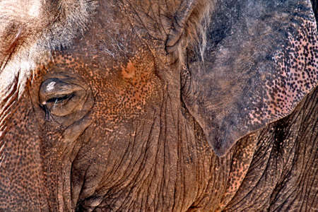 a profile of an old mature elephant close-up on his face