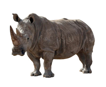 A large adult rhino isolated on a white background