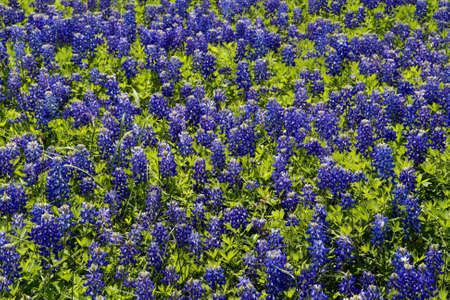 a patch of bluebonnets that makes a great background