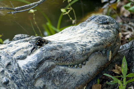 an alligator head close up in the wild