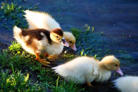 baby ducks: Some baby ducks entering the creek.