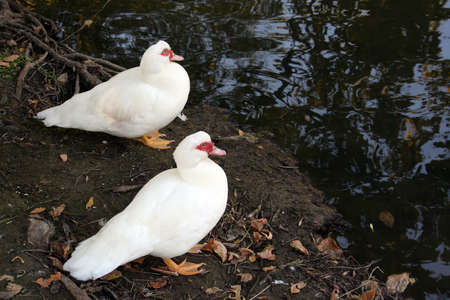 a few ducks on the edge of a pond Stock Photo - 7765249