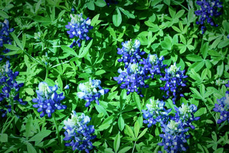 A field of bluebonnets close up Stock Photo