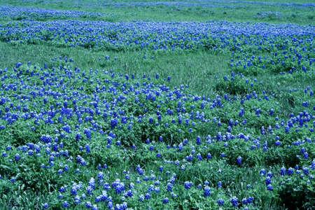 A field of bluebonnets Stock Photo