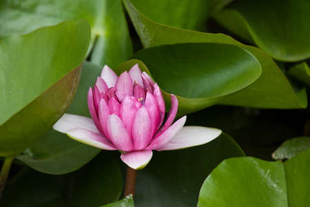 blooming water lily flower Imagens