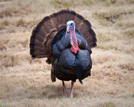 a wild turkey in an open field of grass photo