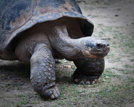 a galapagos tortoise close up