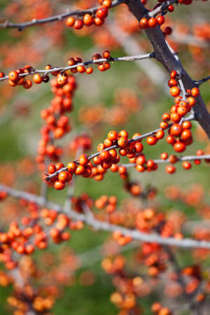 some berries on a tree backgound