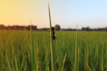 paddy tree with bugs and sunset Фото со стока