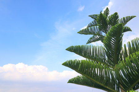 Pine leaves and sky 写真素材