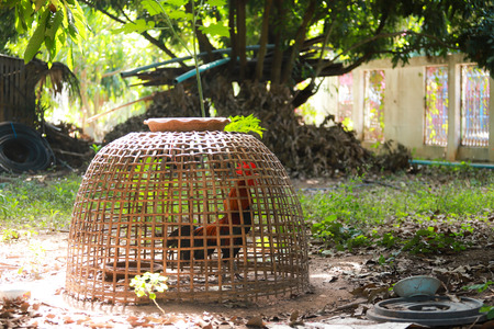 Chickens are trapped in cages inside the forest. 写真素材
