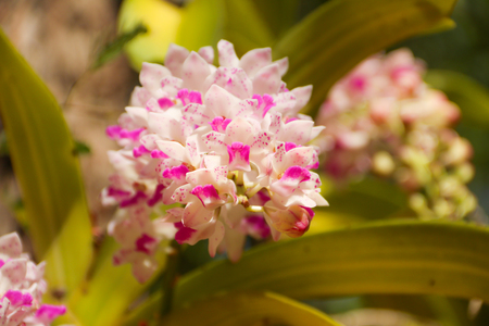 close-up of The orchid on the tree from nature,Rhynchostylis gigantea