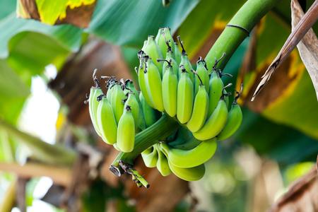 A bunch of green bananas on the banana tree